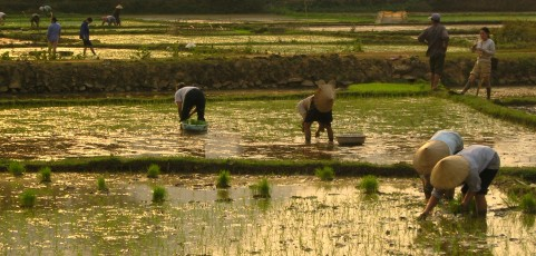 Role of Green Manure Crops in Lowland Rice Based Farming System of Northern Thailand