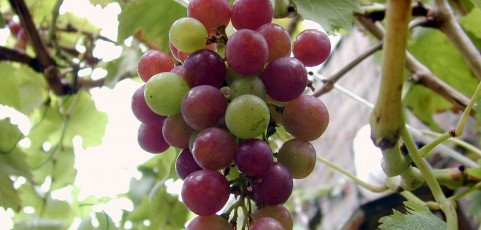 Soil Ecology of Grape Phylloxera and the Potential for Biological Control
