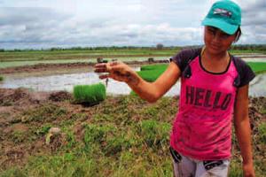 El Sistema Intensivo del Cultivo de Arroz (SICA)