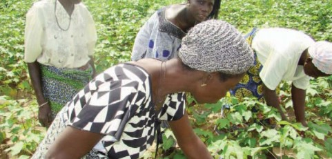 A new tool for improving organic cotton yields in Africa