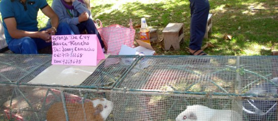 Guinea pigs – small livestock with big potential