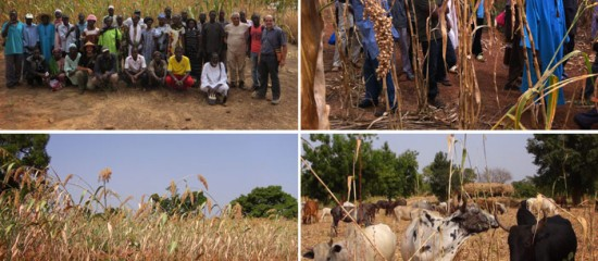 Farmers and agronomists are conducting experiments to find a balance between crop yields, feeding their cattle and improving the soil.