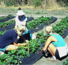 An agroecology researcher and UCSC students gather data from the comparative study of organic and conventional strawberry management, at Jim's Swanton Berry Farm, Davenport, Ca, 1987. Photo: Steve Gliessman