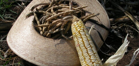 Rescuing our maize: Building a network
