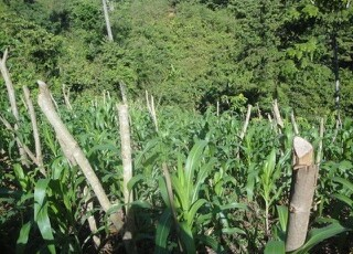 Inga Alley Cropping providing land for life - Agricultural