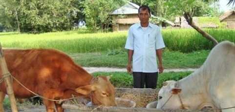 A breeding bull can benefit the whole village